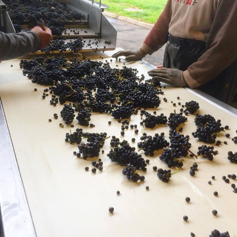 Derniers tris pour les Pinot Noir à Sancerre