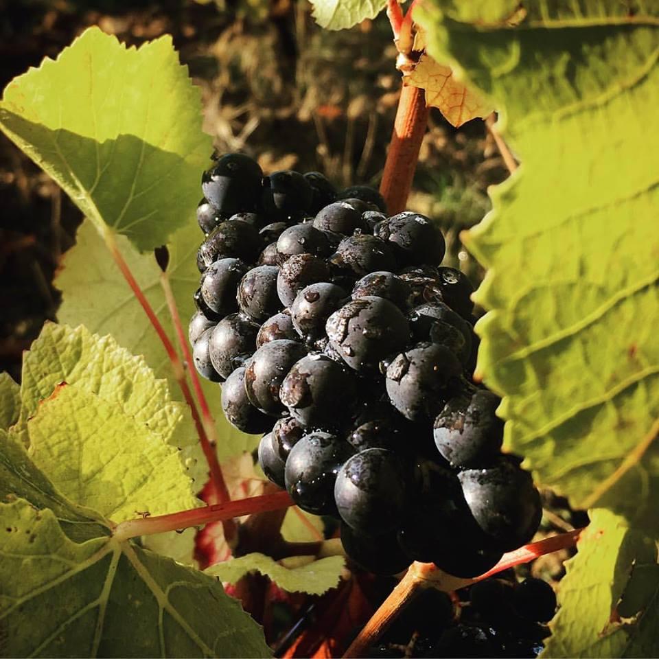 Pinot Noir patiente avant les vendanges...