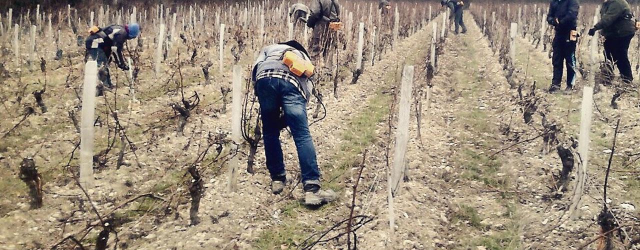 Les vignes se font tailler aux caves de la Perrière