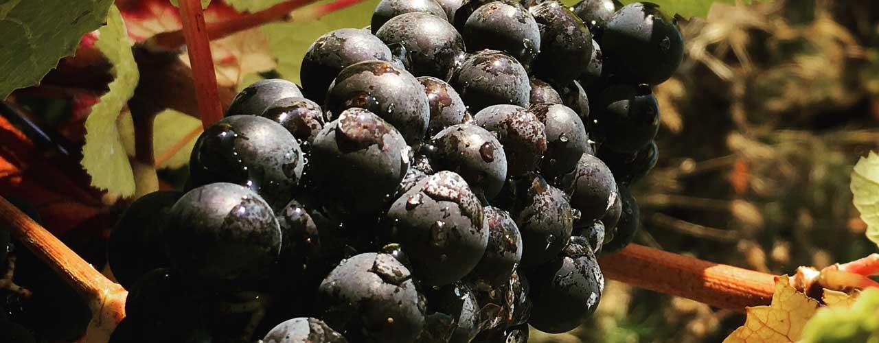 Pinot noir à Bué en sancerre