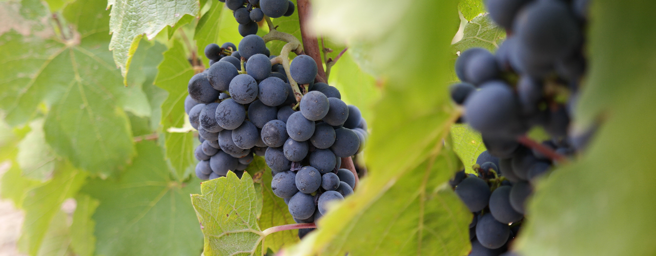 vendanges 2019 saget la perriere
